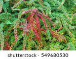 background texture of shrubbery ... | Shutterstock . vector #549680530