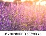beautiful lavender flowers in...   Shutterstock . vector #549705619