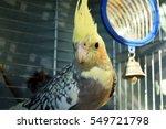 Bird Corella Parrot  Nymphicus...