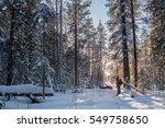 Small photo of January 3, 2017 - Russia, Yugra, Surgut district - View of Siberian taiga forest and a sable trapper walking on skis among big trees and snow, checking his trapline