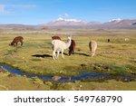 alpaca in the heights of the... | Shutterstock . vector #549768790