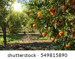 ripe mandarin tree growing in... | Shutterstock . vector #549815890