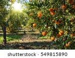 Ripe Mandarin Tree Growing In...