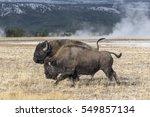 American Bison   Adult Bull...
