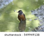 American Robin taking a bath in a puddle
