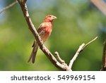 house finch   wild bird... | Shutterstock . vector #549969154