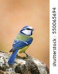 Cute Bird Blue Tit.  Eurasian...