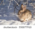 Side View Of Cottontail Rabbit...