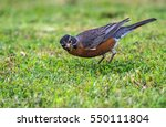 American Robin Listening For...