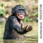 Smiling Bonobo In The Water. ...