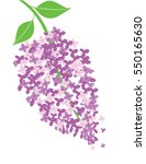 vector illustration of lilac... | Shutterstock .eps vector #550165630