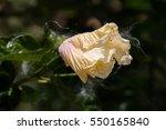 gentle alpine flower | Shutterstock . vector #550165840