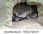 the bat eared fox  otocyon... | Shutterstock . vector #550176319