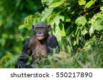 Close up Portrait of Bonobo. Green natural background in natural habitat. The Bonobo ( Pan paniscus). Democratic Republic of Congo. Africa