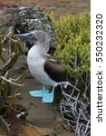 Blue Footed Booby Standing Ato...