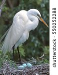 Portrait Of A Great Egret On I...