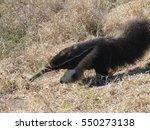 a giant anteater  myrmecophaga... | Shutterstock . vector #550273138