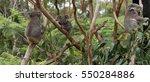 Koalas On The Tree