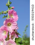 Small photo of Pink hollyhock or Althaea rosea flower