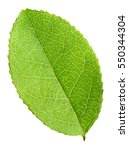 green blueberry leaf isolated... | Shutterstock . vector #550344304