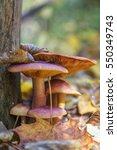 closeup view of mushrooms in... | Shutterstock . vector #550349743