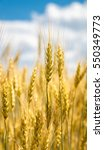 close up view of wheat ear... | Shutterstock . vector #550349773