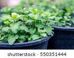 Mint In Pots.