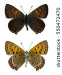 Small photo of Lycaena helle (upperside and underside)