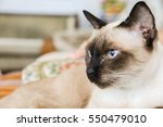 The Portrait Of Siamese Cat Is...