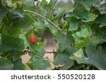 Red Fruit Of Ivy Gourd On The...