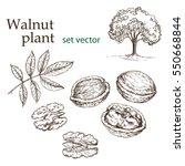 walnut plant set. the... | Shutterstock .eps vector #550668844