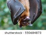 Fruitbat Hanging Upside Down On ...