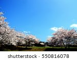 flower of a full blown cherry... | Shutterstock . vector #550816078