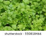 Flat Leaf Parsley Plant In...
