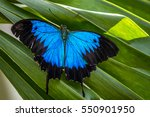 Wild Ulysses Butterfly...
