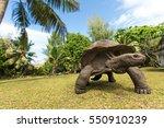 Stock photo giant aldabra tortoise aldabrachelys gigantea on curiouse island in seychelles 550910239
