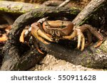 Crab Hiding In The Mangrove...