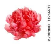 flower rare salmon colored... | Shutterstock . vector #550933759