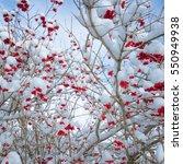 red rowan berries in the snow... | Shutterstock . vector #550949938