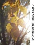 a close view of birch autumn... | Shutterstock . vector #550955350