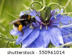 Bumblebee  Bombus  On Blue...
