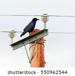 Crow On Pole  With Electricity...