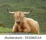 Highland Cow  Scottish Highlands
