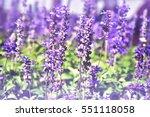 lavender field selective focus  | Shutterstock . vector #551118058