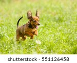 Little Active Dog On The Green...