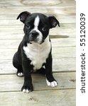 Boston Puppy 6