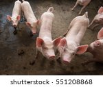 pigs on the farm | Shutterstock . vector #551208868
