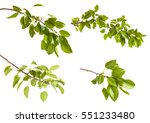 Pear Tree Branch With Leaves...