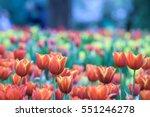 flower tulips background....
