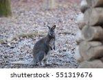 Bennett\'s Kangaroo Is A...